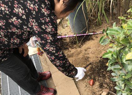 チューリップ球根植え